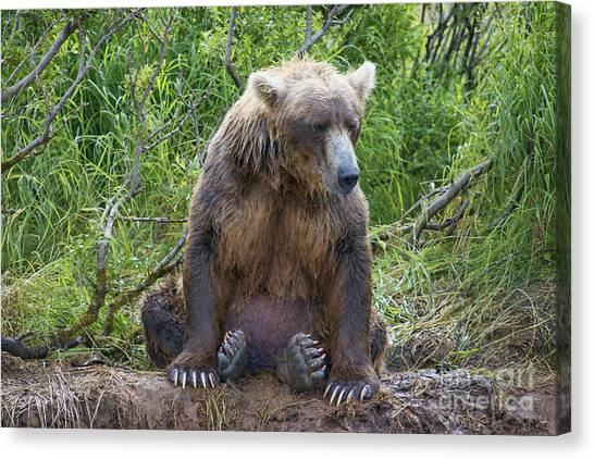 Brown Bear Sitting Waiting For Salmon Canvas Print by Dan Friend
