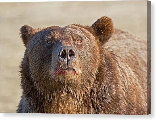 Brown Bears Canvas Print - Brown Bear Sniffing Air by John Devries