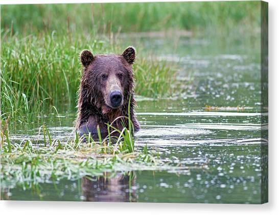 Brown Bears Canvas Print - Brown Bear Swimming by John Devries