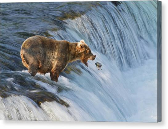 Using The River Canvas Print - Brown Bear  Ursus Arctos by Gary Schultz