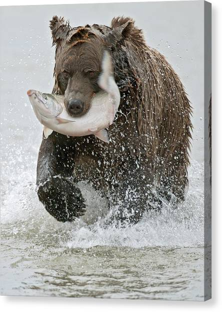 Brown Bear Canvas Print - Brown Bear With Salmon Catch by Gary Langley