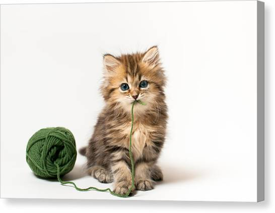 Brown Blue-eyed Kitten With Green Wool In Mouth Canvas Print by Benjamin Torode