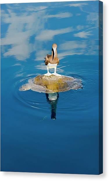 Boobies Canvas Print - Brown Booby And Marine Turtle by Christopher Swann