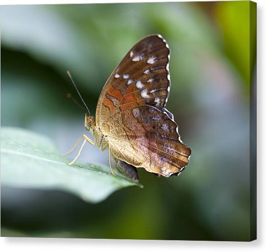 Brown Butterfly Canvas Print