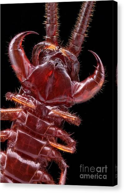 Centipedes Canvas Print - Brown Centipede Jaws by Matthias Lenke