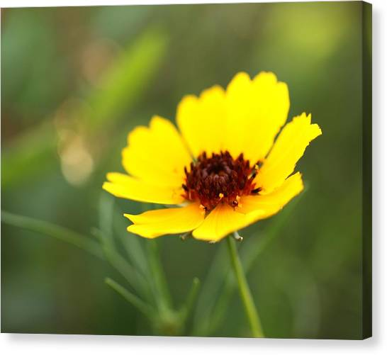 Brown Eyed Susan Canvas Print