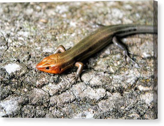 Brown Headed Skink Canvas Print