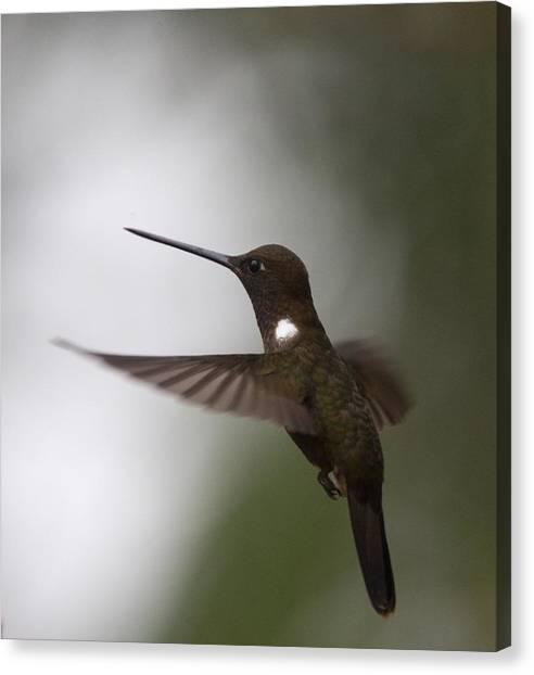 Brown Inca Hummingbird Canvas Print