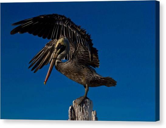 Brown King Pelican Canvas Print by Kristine Patti