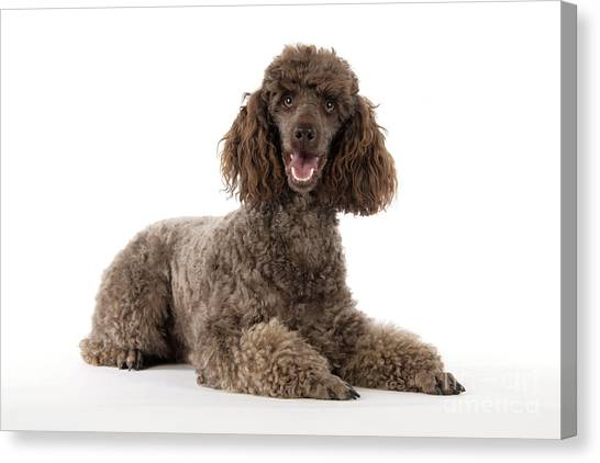brown curly hair dog