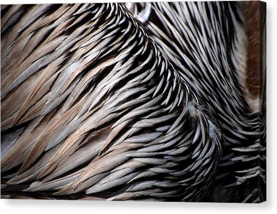Brown Pelican Feathers Canvas Print