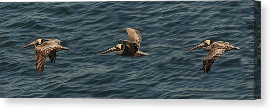 Brown Pelican Flying Panorama Canvas Print