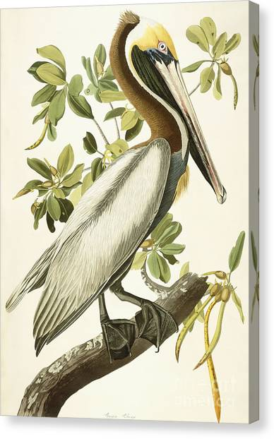 Pelicans Canvas Print - Brown Pelican by John James Audubon