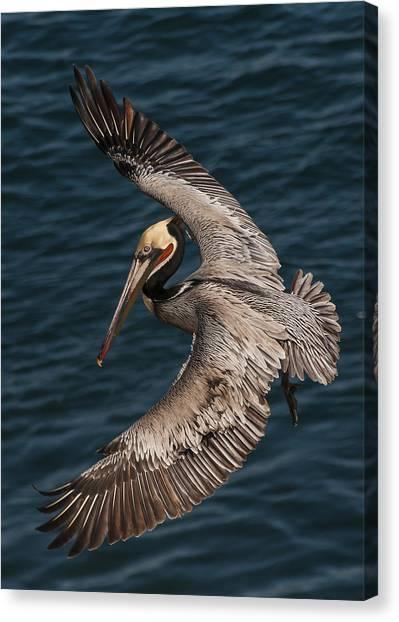 Brown Pelican Landing 2 Canvas Print