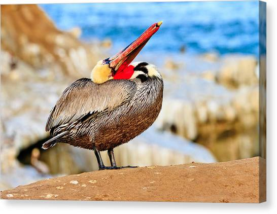 Brown Pelican Mating Season Display Canvas Print