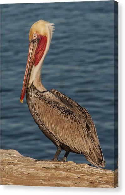 Brown Pelican Portrait 2 Canvas Print
