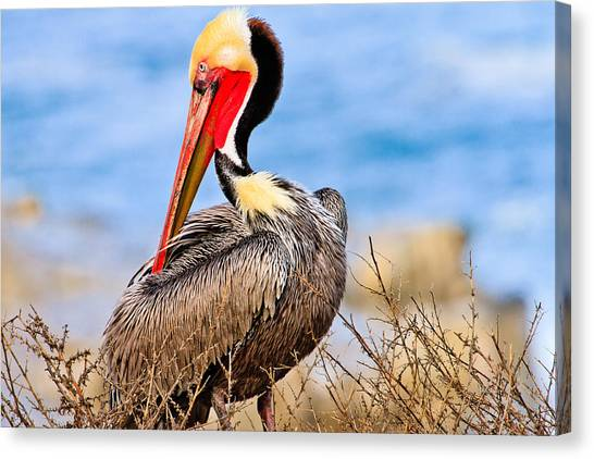 Brown Pelican Posing Canvas Print