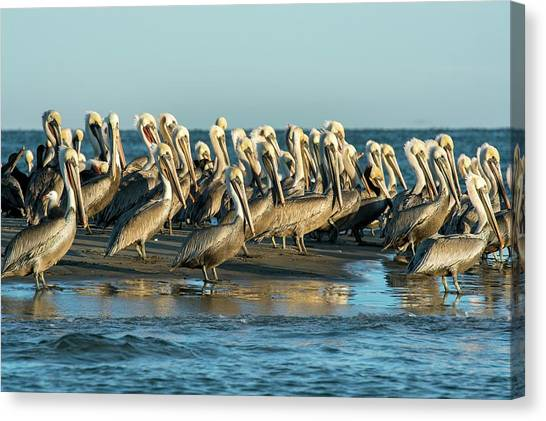 Baja California Canvas Print - Brown Pelicans by Christopher Swann