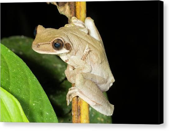 Ecuadorian Canvas Print - Brown Sided Bromeliad Treefrog by Dr Morley Read