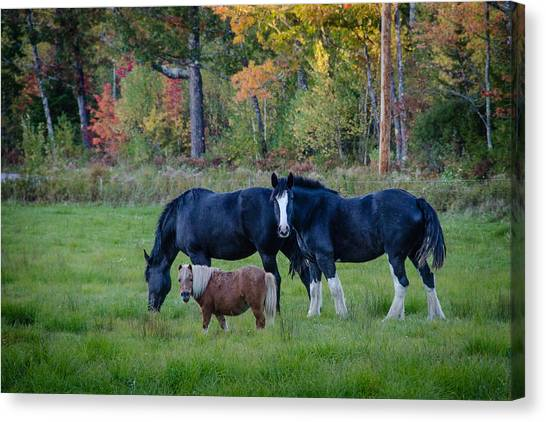 Brownfield Horses Canvas Print