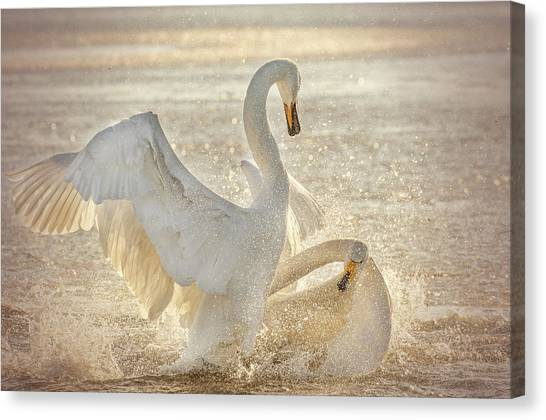 Swan Canvas Print - Brutal Swan Fight by Libby Zhang