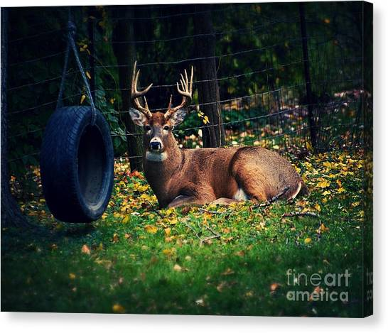 Buck In The Back Yard Canvas Print