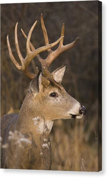 Buck Portrait Canvas Print