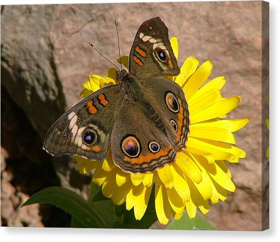 Buckeye Butterfly On Yellow Flower And Rock - 101 Canvas Print