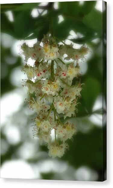 Buckeye Tree Bloom Canvas Print