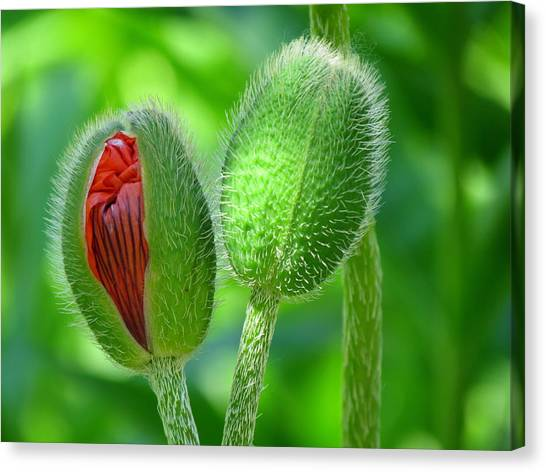 Budding Poppies - Togetherness Canvas Print