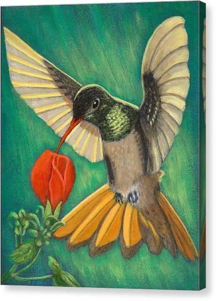 Buff-bellied Hummingbird Canvas Print