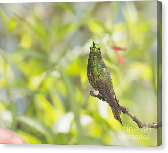 Buff-tailed Coronet Hummingbird Canvas Print