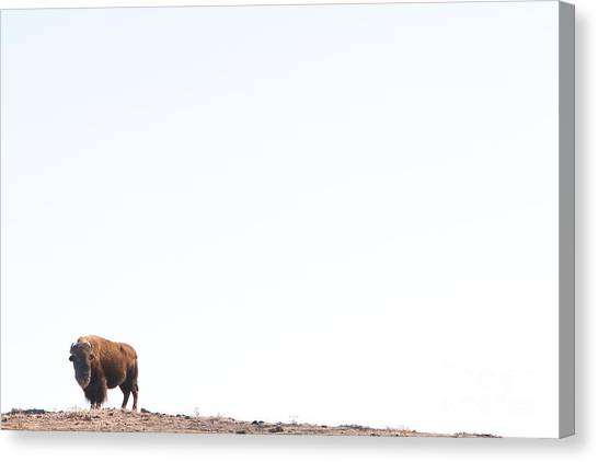 Bison Canvas Print - Buffalo Country by James BO  Insogna