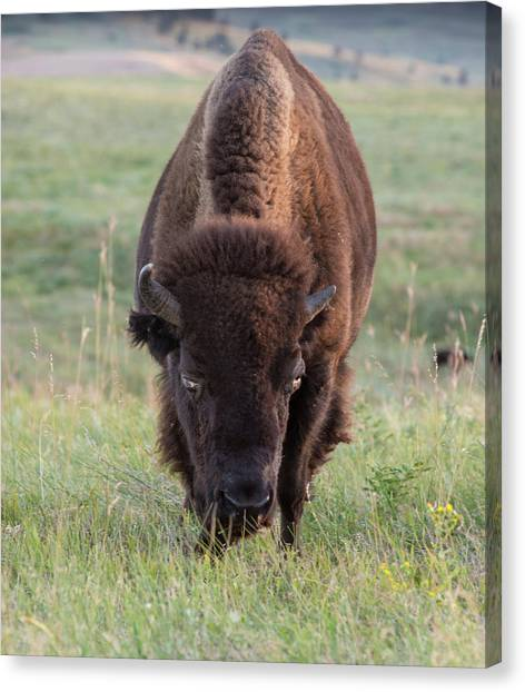 South Buffalo Canvas Print - Buffalo In Custer State Park (large by Howie Garber