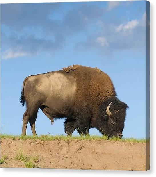 Yellowstone National Park Canvas Print - Buffalo In Yellowstone Park by Jeffrey Banke
