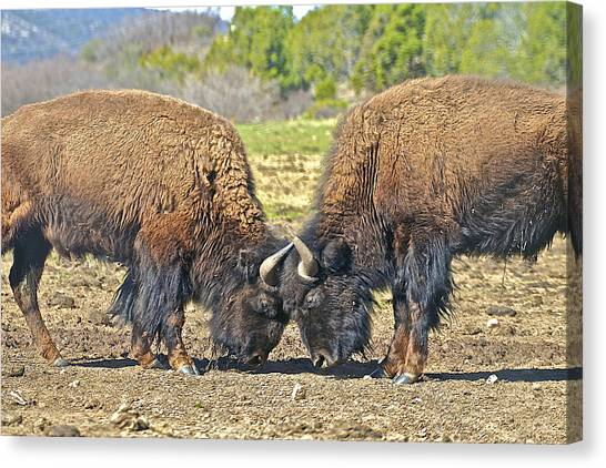 Buffaloes At Play Canvas Print