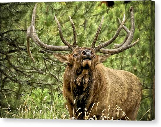 Mountain West Canvas Print - Bugling Bull Elk II by Ron White