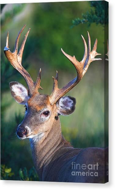 Buck Posing Canvas Print
