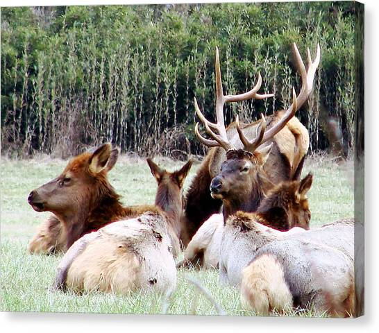 Bull Elk And His Girls 2 Canvas Print