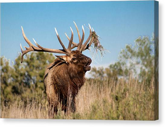 Bull Elk Call Canvas Print