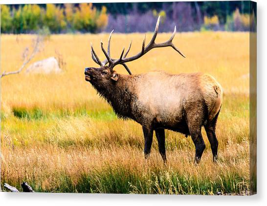 Bull Elk - Colorado Canvas Print
