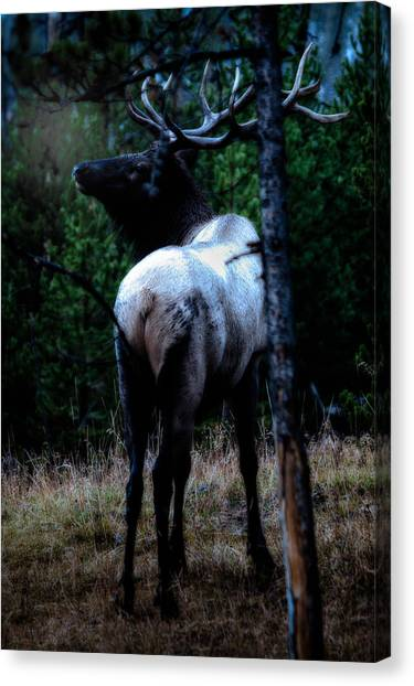 Bull Elk In Moonlight  Canvas Print