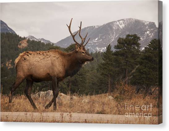 Colorado Rockies Canvas Print - Bull Elk by Juli Scalzi