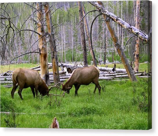 Bull Elk Sparing Canvas Print