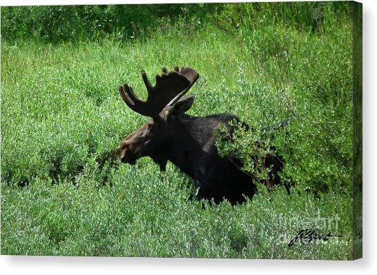 Bull Moose 1 Canvas Print