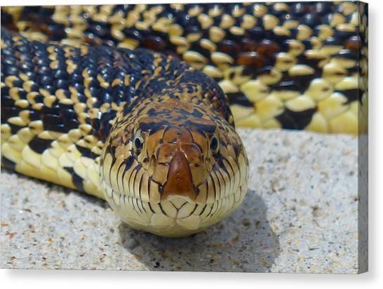 Bull Snake Stare Canvas Print
