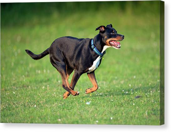 English Bull Dogs Canvas Print - Bull Terrier Crossbreed Dog by Simon Booth