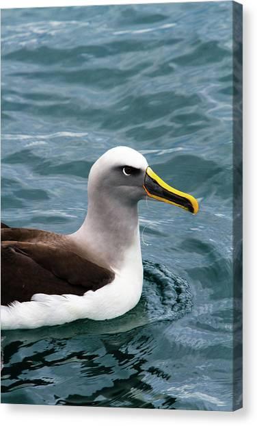 Albatrosses Canvas Print - Buller's Albatross (thalassarche Bulleri by Micah Wright