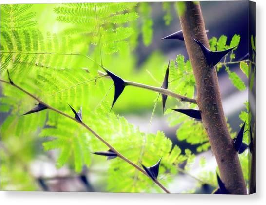 Mimosa Canvas Print - Bullhorn Acacia (acacia Cornigera) by Maria Mosolova/science Photo Library