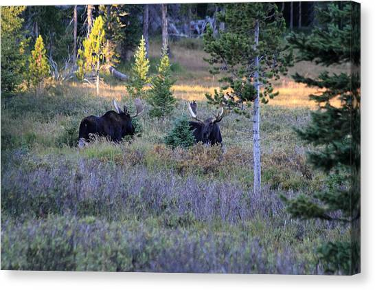 Bulls In The Meadow Canvas Print